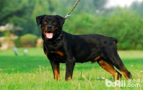 护卫犬哪个好?护卫犬推荐-狗狗品种
